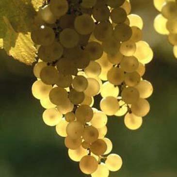Vinho Verde no Japão