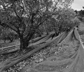 Exposição sobre apanha da azeitona