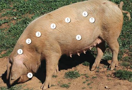 Conheça o porco bísaro