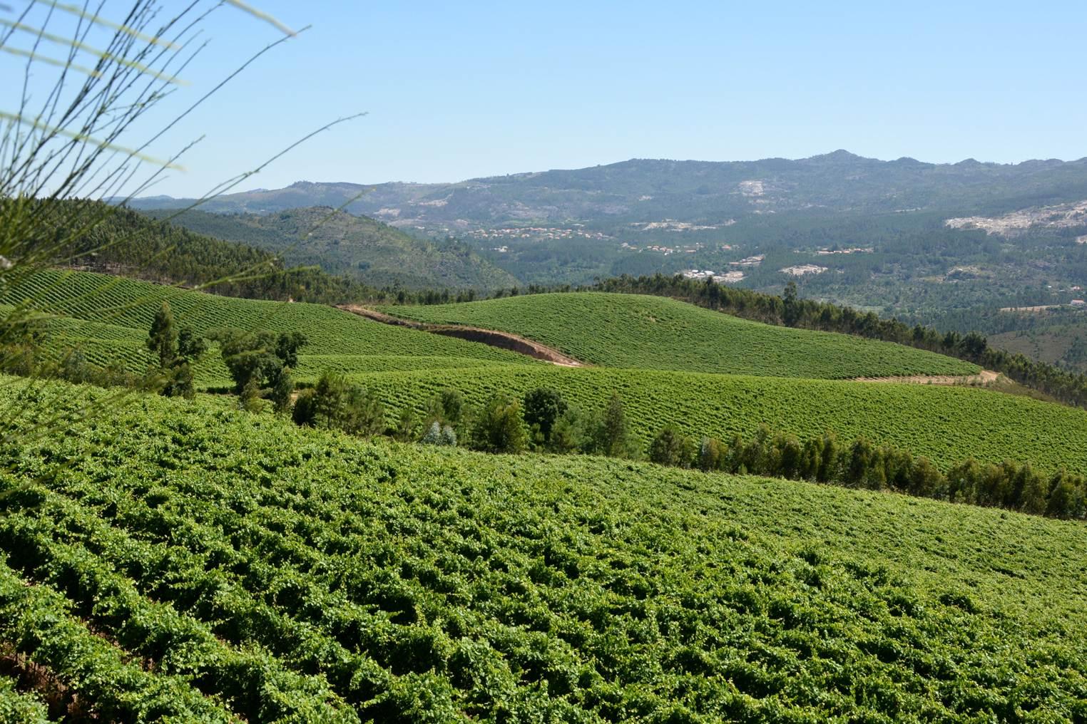Região dos Vinhos Verdes prevê excelente colheita