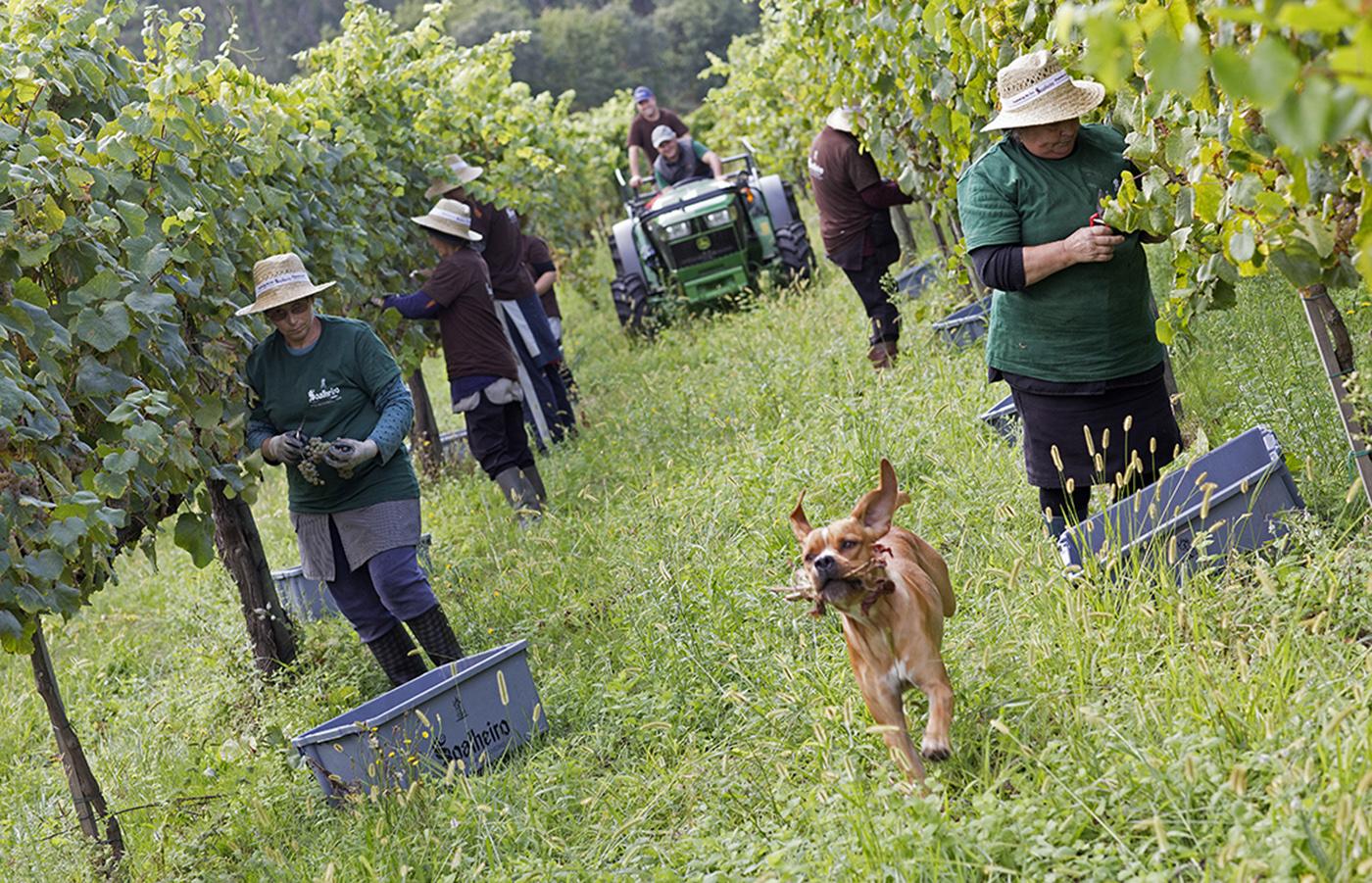 Experiências de vindimas no Adegga Harvest Weekend 2016