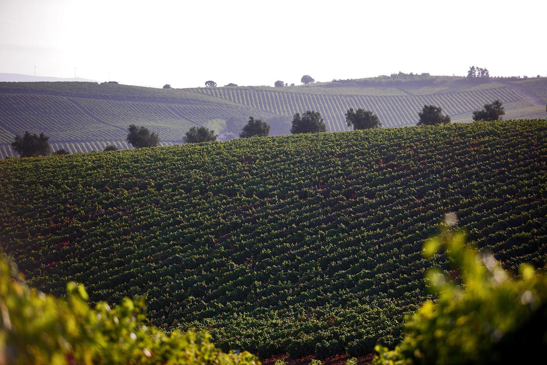 vinhas região de lisboa