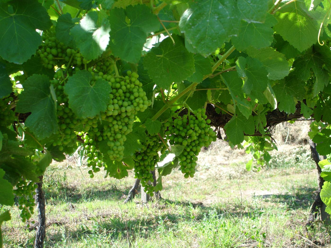 Boa vindima em perspetiva na região dos Vinhos Verdes