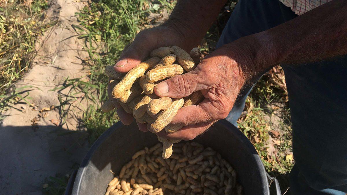 Os amendoins nascem das árvores?